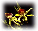 belice-flor_orquidea_negra.jpg