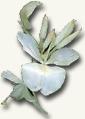 cuba-flor-mariposa-blanca.jpg