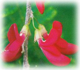 dominica-flor-carib-wood-of-bois-caraibe.jpg