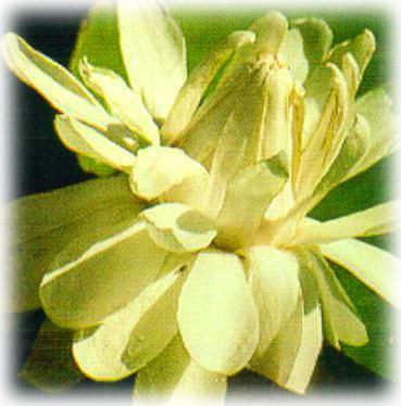 guyana-flor-victoria-regia-lily.jpg