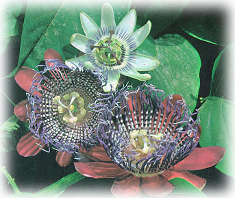 paraguay-flor-mburucuya.jpg