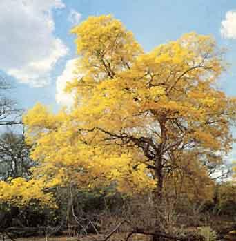 venezuelaaraguaneytabebuiachrysantha.jpg