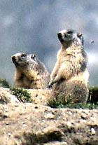 marmota6.jpg